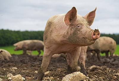 昔のサッカーボールは豚や牛の膀胱が作られて...|サッカー
